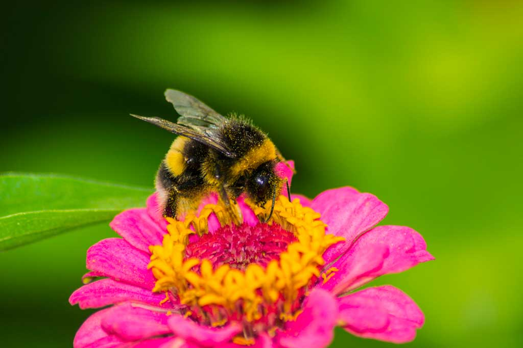 bumblebees show a sugar rush with sweet nectar � voxitatis